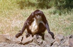Geoffroy`s Spider Monkey -Ateles Geoffrey stock images