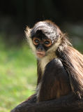 Geoffroy's Spider Monkey (Ateles geoffroyi) Royalty Free Stock Photo