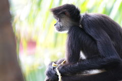 Geoffroy's spider monkey (Ateles geoffroyi) Royalty Free Stock Image