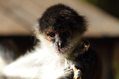 Geoffroy's spider monkey (Ateles geoffroyi) Stock Photography