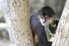 Geoffroy's spider monkey (Ateles geoffroyi) Royalty Free Stock Images