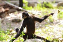 Geoffroy's spider monkey (Ateles geoffroyi) Stock Images