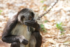 Geoffroy's spider monkey (Ateles geoffroyi) Stock Image