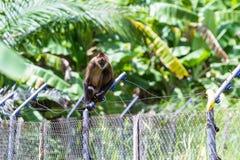 Geoffroy S Spider Monkey - Ateles Geoffroyi Stock Photos
