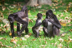 Geoffroy's Spider Monkey. Ateles geoffroyi Stock Photo
