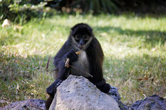 Geoffroy S Spider Monkey (Ateles Geoffroyi), Known As Black-hand Stock Photography