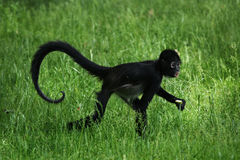 Geoffroy's spider monkey (Ateles geoffroyi). Stock Photography