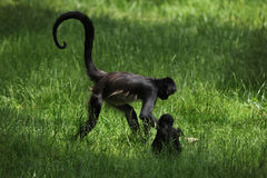 Geoffroy's spider monkey (Ateles geoffroyi). Royalty Free Stock Photo