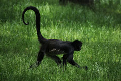 Geoffroy's spider monkey (Ateles geoffroyi). Royalty Free Stock Image