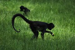 Geoffroy's spider monkey (Ateles geoffroyi). Stock Photos