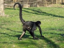 Geoffroy's spider monkey with baby Stock Photos