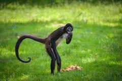 Portrait of Geoffroy`s Spider Monkey Stock Image