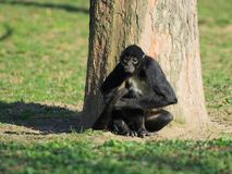 Geoffroy's spider monkey resting Stock Photo