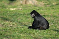 Geoffroy's spider monkey sitting Royalty Free Stock Images