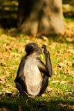 Geoffroy's spider monkey Stock Photography