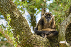 Geoffroy's spider monkey at zoo Royalty Free Stock Photography