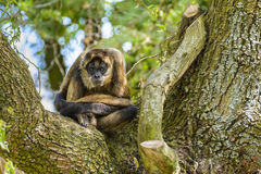 Geoffroy's spider monkey at zoo Royalty Free Stock Photos