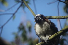 Geoffroy's Tamarin Stock Photos
