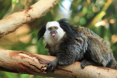 Geoffroy tufted-ear marmoset Royalty Free Stock Photo