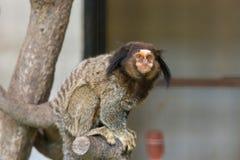 Geoffroy& x27; s-Seidenäffchen-Affe, der auf Baum im Zoo sitzt Lizenzfreie Stockfotografie