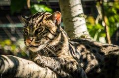Geoffroyi de Oncifelis do gato do ` s de Geoffroy fotos de stock royalty free