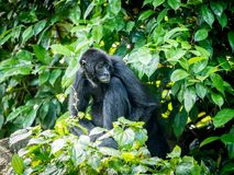 Geoffroyi del Ateles del mono de araña Animal de la fauna imagen de archivo