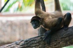 Geoffroyi del Ateles del mono de la araña de Geoffroy, AKA el mono de araña negro-dado imagen de archivo libre de regalías