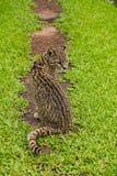Geoffroyi selvaggio sudamericano di Leopardus Oncifelis del gatto Immagini Stock Libere da Diritti