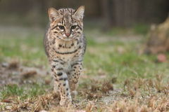 Geoffroys cat. The approaching Geoffroys cat in the grass Stock Image