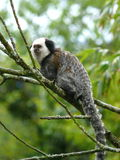 Geoffroys Marmoset stock photography