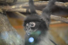 Geoffroys spider monkey (Ateles geoffroyi). Sad monkey behind the glass (black-handed spider monkey) in the Prague ZOO Royalty Free Stock Images