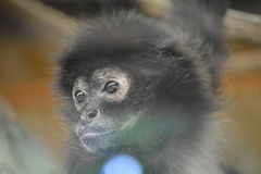 Geoffroys spider monkey (Ateles geoffroyi). Sad monkey behind the glass (black-handed spider monkey) in ZOO Stock Image
