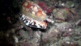 Geography Cone Conus geographus int he night hunting on the sand in Lembeh strait. Indonesia stock video footage