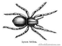 Geolycosa fatifera (Wolf Spider) Stock Photos