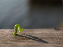 Geometer moth caterpillar Stock Photos