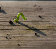 Geometer moth caterpillar royalty free stock image