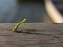 Geometer moth caterpillar Royalty Free Stock Images