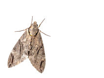 The geometer moth Trichopteryx carpinata isolated on white backg Stock Photos