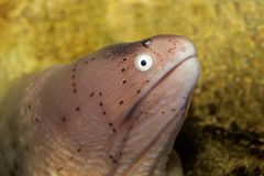 Geometric moray eel Stock Photo