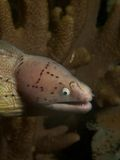 Geometric moray Stock Photos