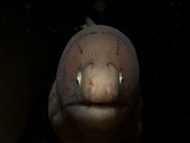 Geometric moray Royalty Free Stock Photos