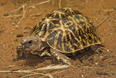 Geometric tortoise. Small-sized; domed carapace beautifully marked with geometric patterns; vegetarian; readily sprays liquid bowel contents when handled Royalty Free Stock Image