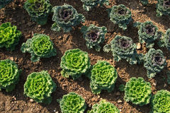 Geometrically planted green cabbages Stock Photography