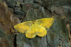 Geometrid moth Royalty Free Stock Photo