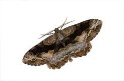Geometrid Moth Stock Image