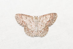 Geometrid moth on white screen Royalty Free Stock Images