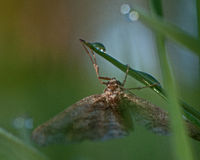 Geometridae in dew. Geometridae in the early morning dew Stock Images