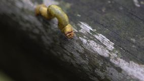 Geometridae verde Caterpillar de la cámara lenta que se arrastra en árboles salvajes de la montaña metrajes