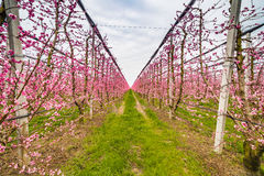 Geometries of orchards in bloom Stock Photo