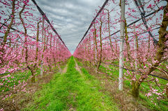 Geometries of orchards in bloom Stock Photos